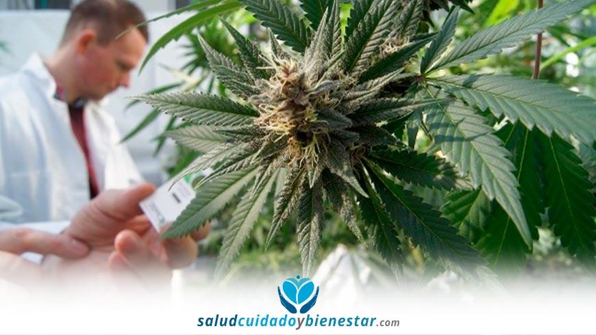 Marihuana Medicinal y Terapéutica - uso del Cannabis en el tratamiento de enfermedades